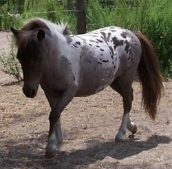 Porterfield's Falabella  Little Lola Rey